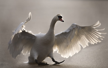 Mute Swan landing on a frozen pond, close up
