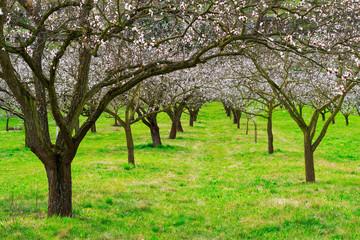 Marillenbäume blühend