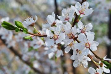 Obraz Kwitnące drzewo owocowe - fototapety do salonu