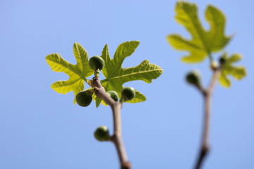 Fig leaves close up