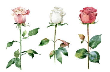Watercolor roses on white background
