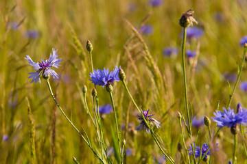 Getreidefeld mit blauen Kornbumen