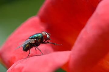 Big very beautiful blowfly on flower