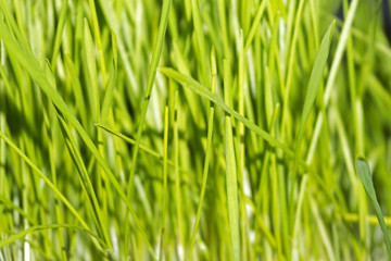 background - young bright green tender spring grass, wheat germs..