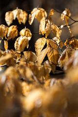 Rotbuchenlaub (Fagus sylvatica) im zeitigen Frühjahr