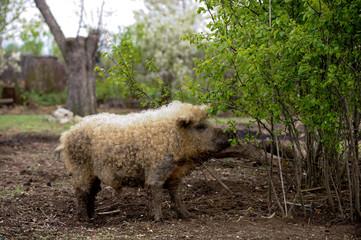 Large, woolen breed of pigs Hungarian mangalitsa