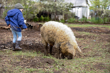 Happy village child playing with a large, woolen breed of pig Hungarian mangalitsa