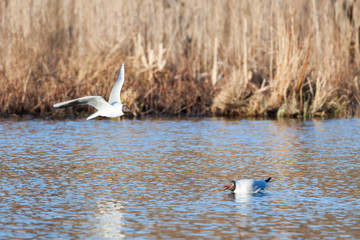 Black-headed gull bird in flight at lake