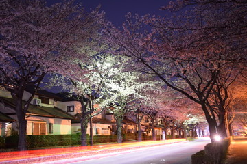 A car passes to row of cherry blossom trees