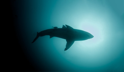 A Great White Shark silhouette