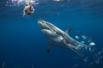 A Great White Shark perusing bait