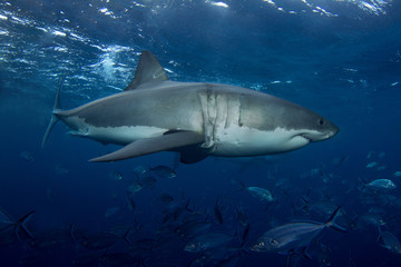 A close up of a Great White Shark
