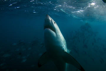 A curious Great White Shark