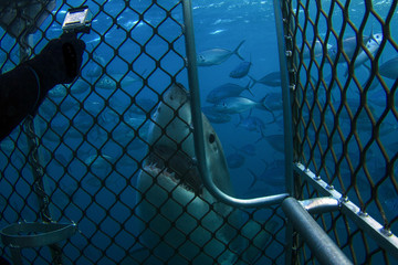 A very curious Great White Shark taking a look at a cage diver