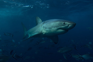 A Great White Shark smiling
