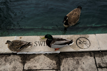 Ducks are seen on the edge of the central canal in Indianapolis, Indiana