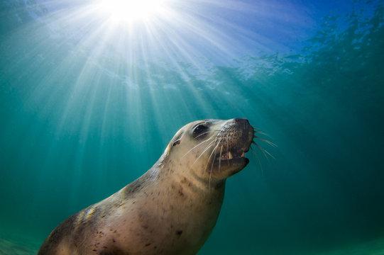 Sun beams behind an Australian Sea Lion (Neophoca cinerea)
