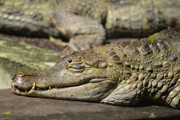 A Caiman relaxes on the banks of the river Amazon near Iquitos, Peru