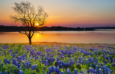 Wall Murals Cappuccino Beautiful Texas spring sunset over a lake. Blooming bluebonnet wildflower field and a lonely tree silhouette.