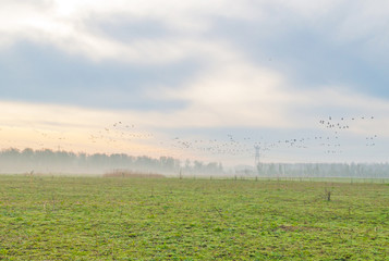 Geese flying over a foggy field in sunlight in spring