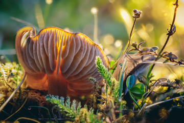Close-up macro photo of a mushroom and other plants growing on the mossy ground in the sunny spring forest