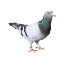 full body of speed racing pigeon bird with banding leg ring isolated white background