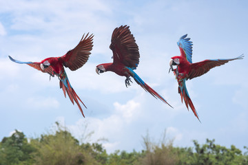 Green winged macaw flying on blue sky