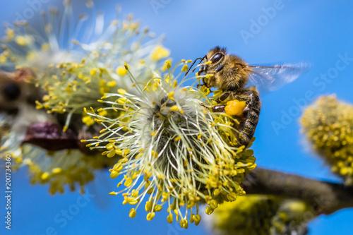Honey bee (Apis mellifera) pollinating yellow flower of Goat