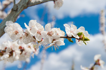 Gardening in spring. Spring Flowering branch on background blue sky. Cherry Blossom. White flowers on tree branch, selective focus. pollinating flowering trees.