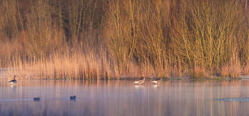 Greylag geese in misty lake lit by morning sun.