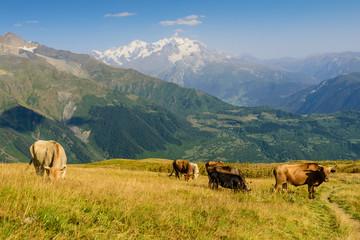 Aluminium Prints Grocery Green meadow with cows on mountain background, Mestia village, Svaneti region, Georgia