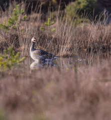 Shouting greylag goose in fen surrounded by high yellow grass.