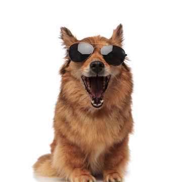 funny brown metis dog with sunglasses laughing with mouth open