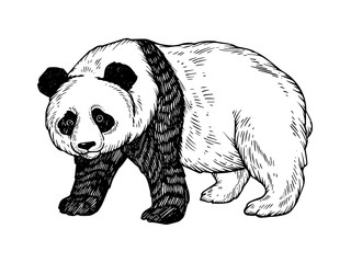 Panda bear engraving vector illustration