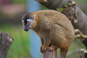 Portrait of curious and cute Red Fronted Madagascar Lemur behaving like pets