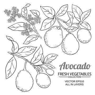 avocado vector branches