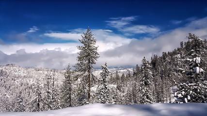 Snowy Sierra Nevada Pines
