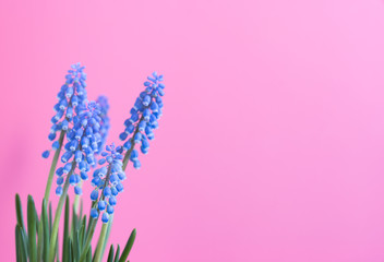 flower plant Muscari on a color background