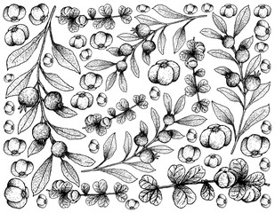 Hand Drawn of Canthium Berberidifolium and Cambui Roxo Fruits