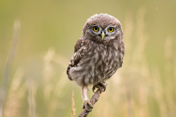 A young little owl (Athene noctua) sitting on a branch looking at the camera