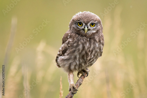 Wall mural A young little owl (Athene noctua) sitting on a branch looking at the camera