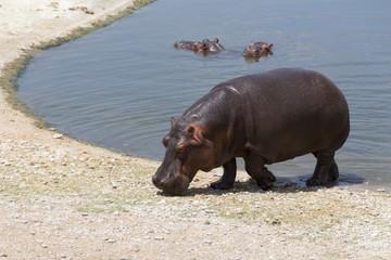 Hippo walking outside a lake