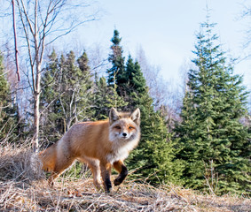 Red Fox Looking for Food