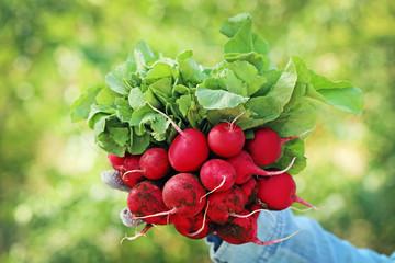 Fresh radish from garden in female hands