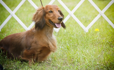 Purebred Longhaired Dachshund
