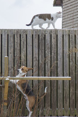Cat is walking on a fence in safety in front of the dog