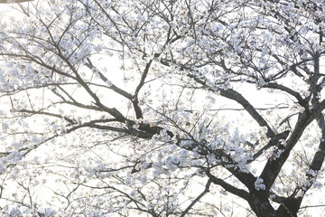 Image shots of cherry blossoms
