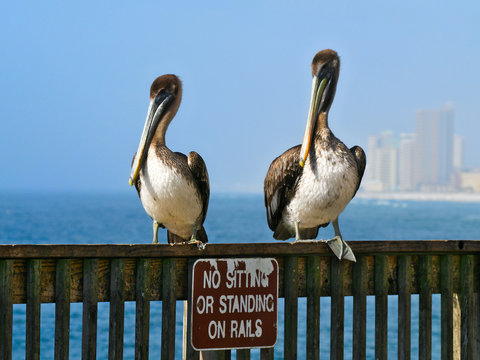 Brown Pelicans - pelecanus occidentalis - two birds standing on railing over funny sign with ocean and highrises in background