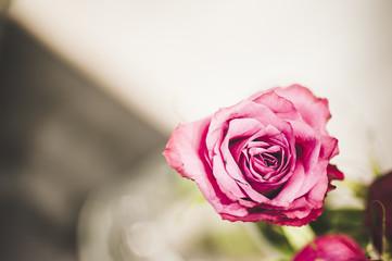 Coeur d'une rose