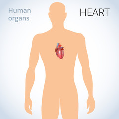 the location of the heart in the body, the human circulatory system
